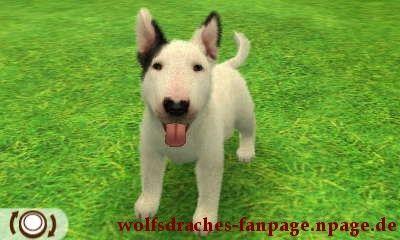 Bullterrier Schwarz-Weiß