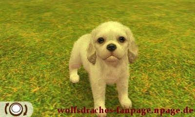 Cavalier Spaniel Weiß