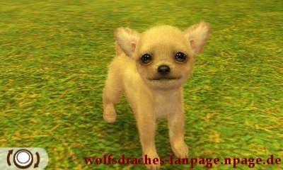 Chihuahua Cremefarben
