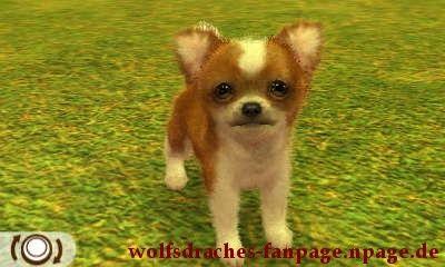 Chihuahua Rot-Weiß