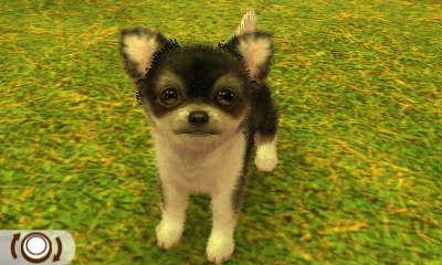 Chihuahua Dreifarbig