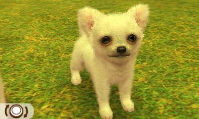 Chihuahua Weiß
