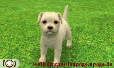 Jack Russell Weiß