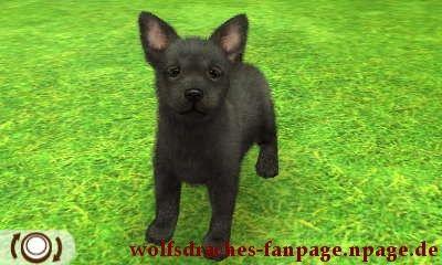 Schäferhund Schwarz