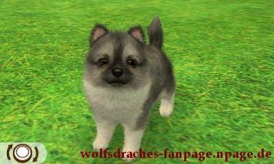 spitz wolfsfarben
