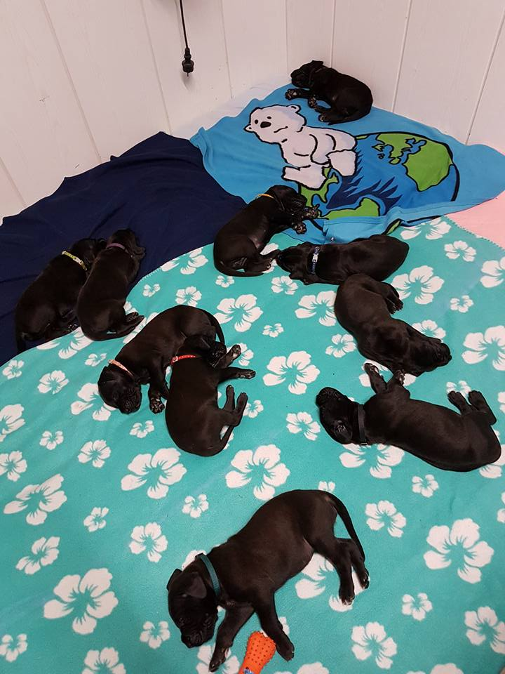Zuchtsätte - Austria Blue Dream Deutsche Doggen