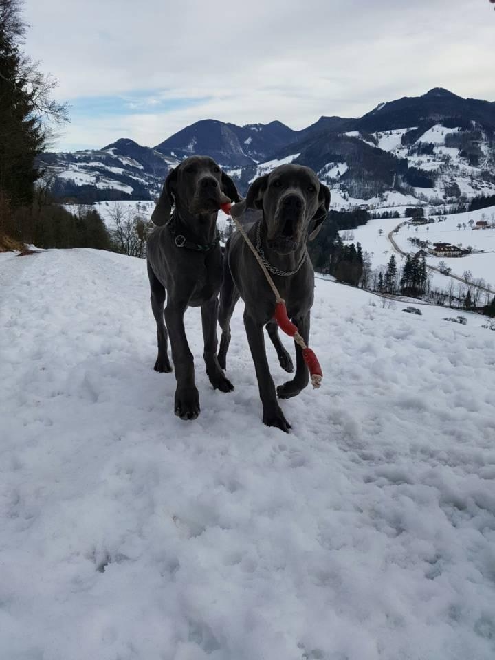 deutsche Doggen blau
