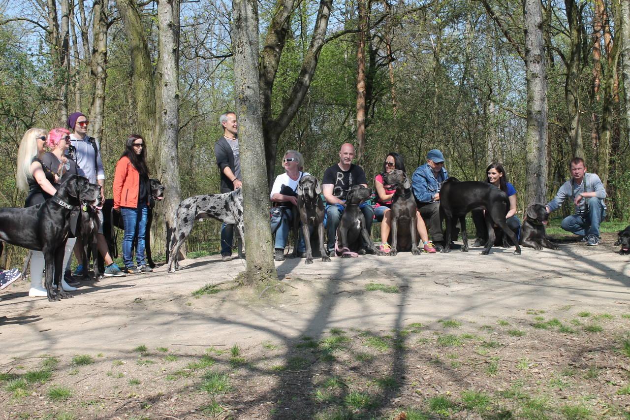 gesunde deutsche Doggen Welpen im Farbschlag blau und schwarz