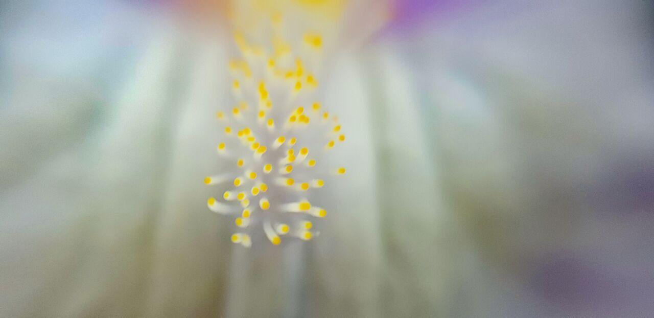 Makro Lilie