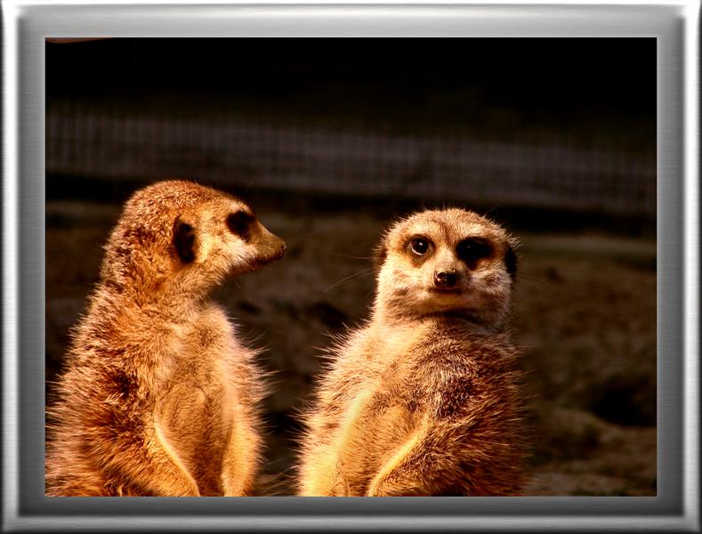 erdmännchen, im Kölner Zoo