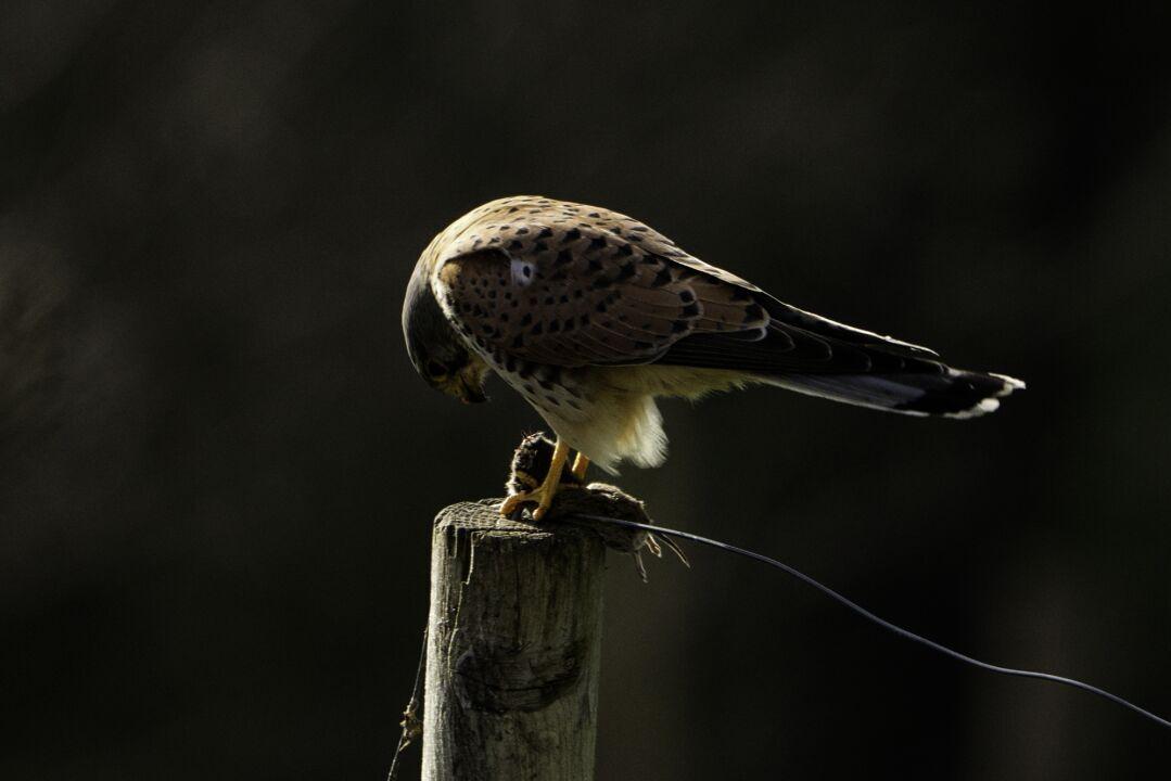 Falke mit Beute