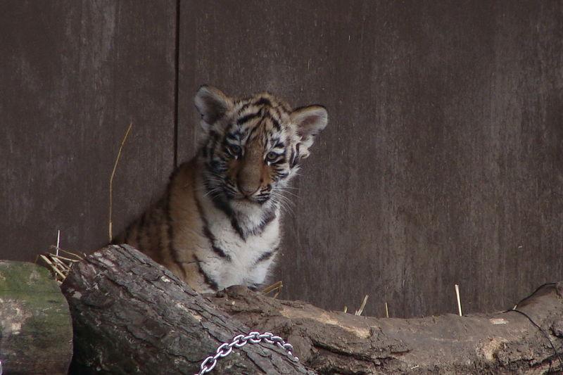 Tigerbaby schaut verwundert, weil es schneit