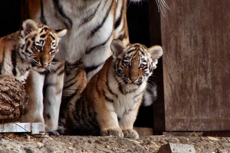 Tigerbabys mit Mama