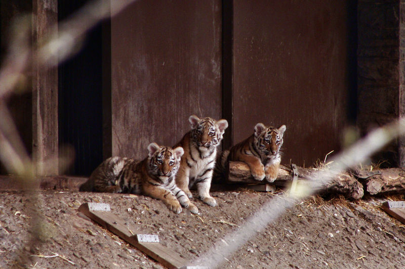 Drei der vier Tigerbabys, von dem Vater Altai