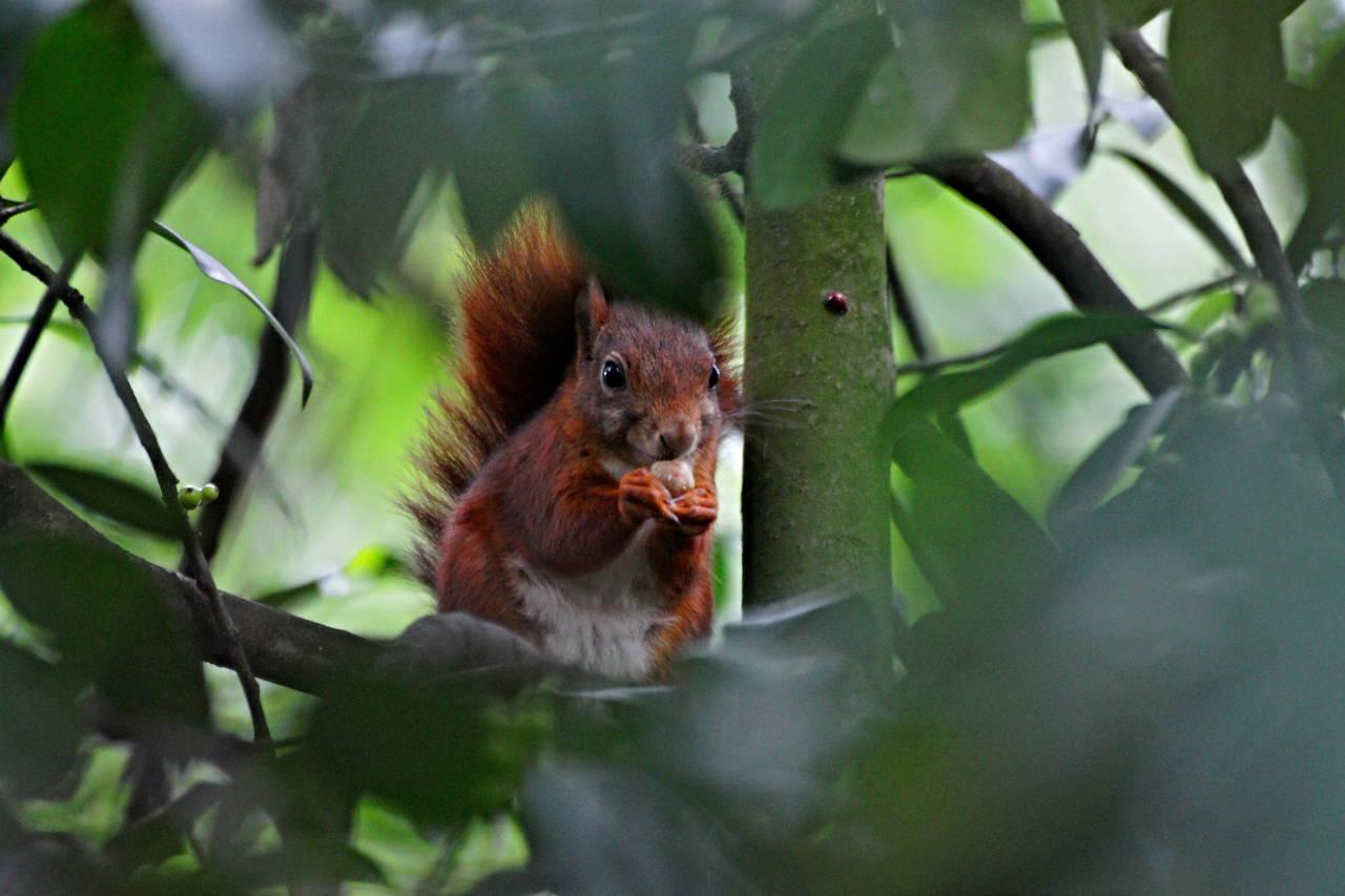 Kleines Eichhörnchen bei der Futtersuche im Düsseldorfer Stadtpark