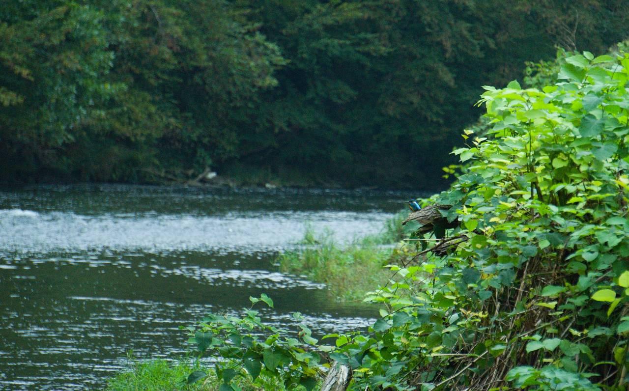 Solingen Wupper Eisvogel NRW Germany Icebird Kingfisher