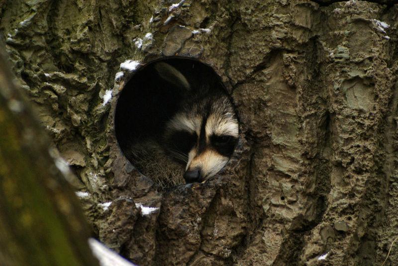 Dachshund in Baumhöhle
