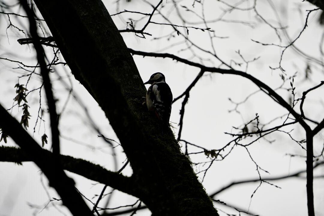 Der Specht, hoch oben im Baum, bei der Arbeit