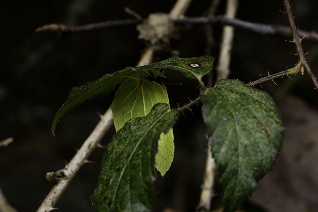 Zitronenfalter versteckt sich unter Brombeerblättern
