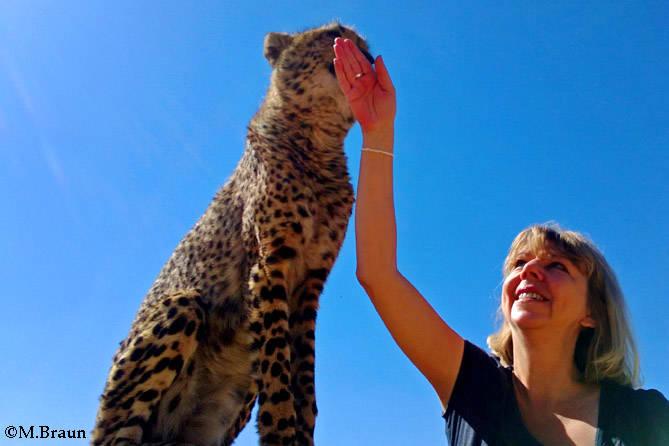 Acynonyx jubatus - der zahme Gepard