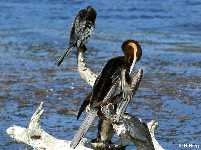 Afrikan. Schlangenhalsvogel -  Anhinga melanogaster rufa