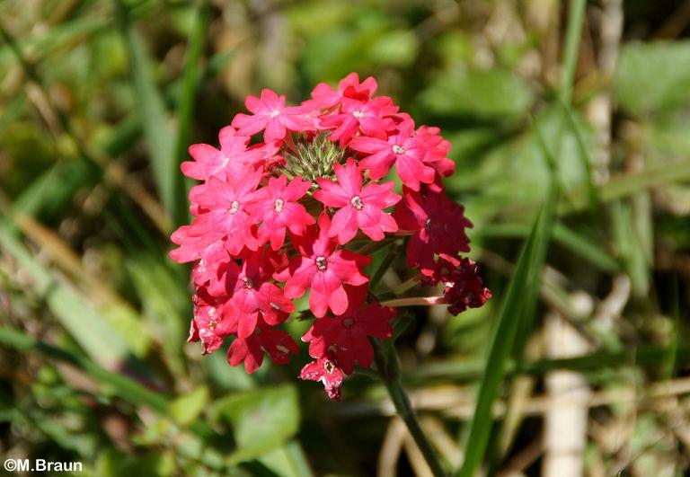 Glandularia - Verbenaceae