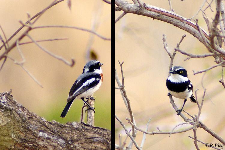 Weißflankenbatis - Batis molitor, Weibchen (links) und Männchen (rechts)