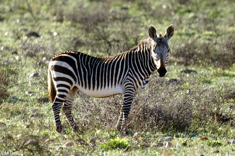 Bergzebra - Equus zebra