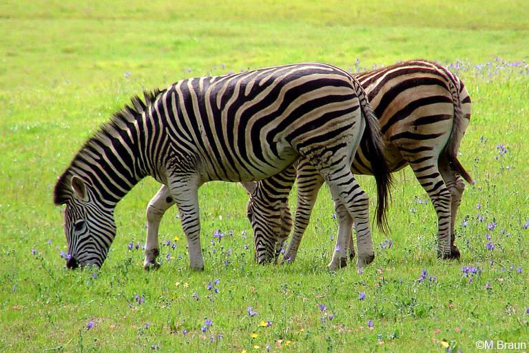 Burchells Zebra - Equus quagga chapmannii