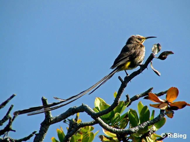 Promerops cafer -  die Männchen besitzen extrem lange Schwanzfedern