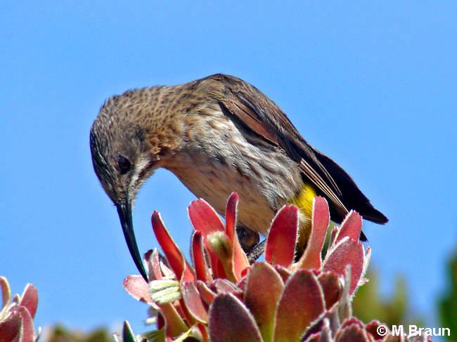 Promerops cafer - sie sind endemisch in der Fynbos-Vegetation