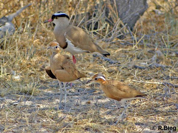 Rostrennvögel und Kronenkiebitz