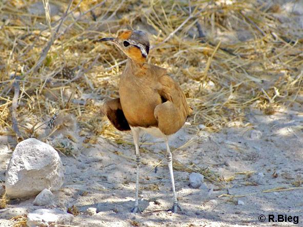 Rostrennvogel - Cursorius rufus