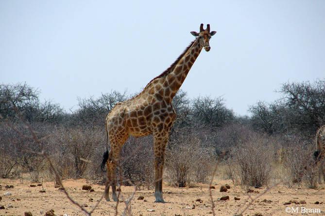 Giraffe - Giraffa camelopardalis angolensis