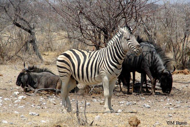 Burchells Zebra - Equus quagga burchellii