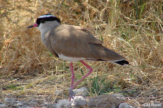 Kronenkiebitz - Vanellus coronatus