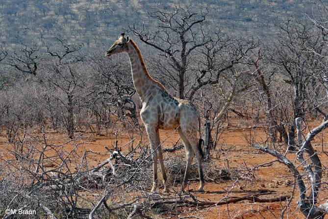 Eine einsame Giraffe