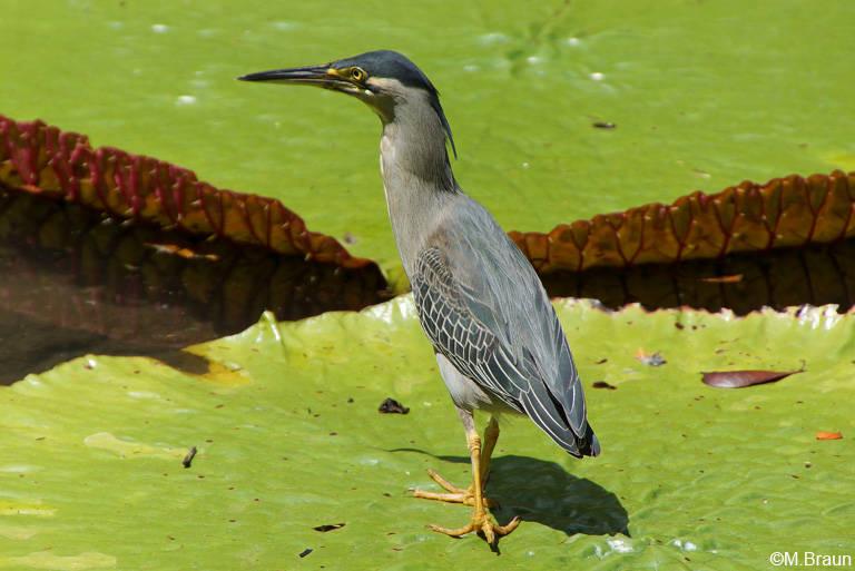 Mangrovereiher - Butorides striatus