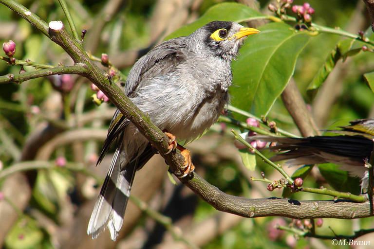 Weißstirn-Schwatzvogel - Manorina melanocephala