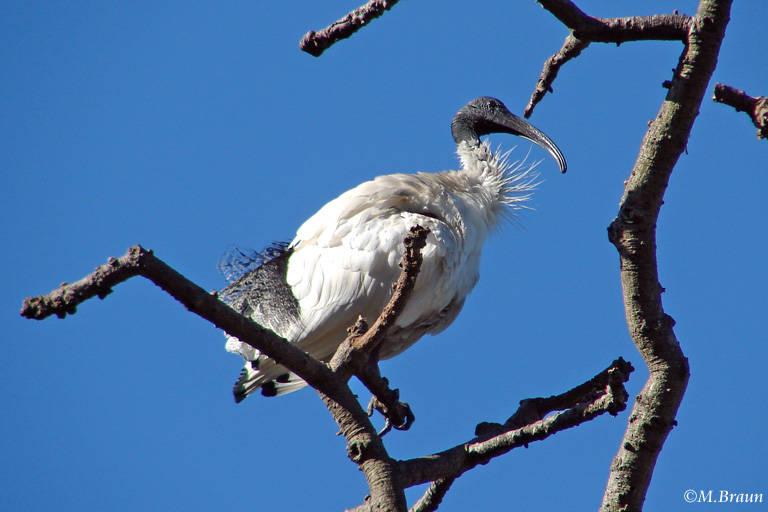 Molukkenibis - Threskiornis molucca
