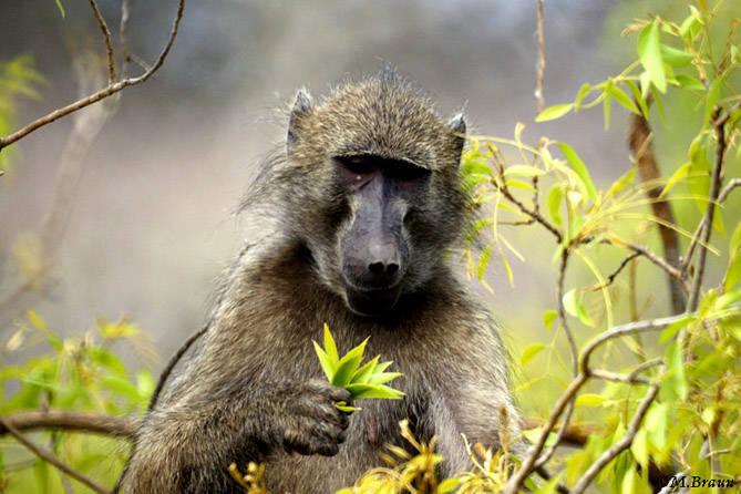 Tschacma- Pavian, auch Bärenpavian genannt - Papio ursinus