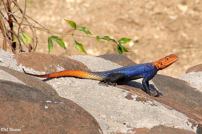 Namibische Felsenagame - Agama planiceps, Männchen