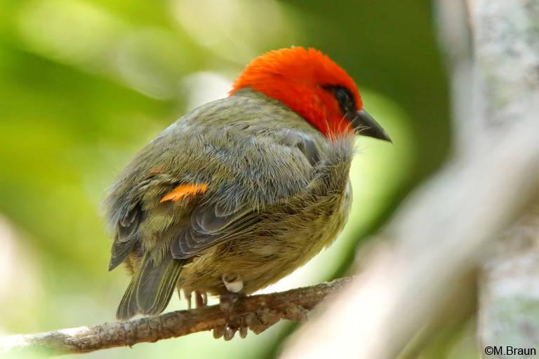 Mauritiusweber - Foudia rubra, ebenfalls endemisch auf Mauritius