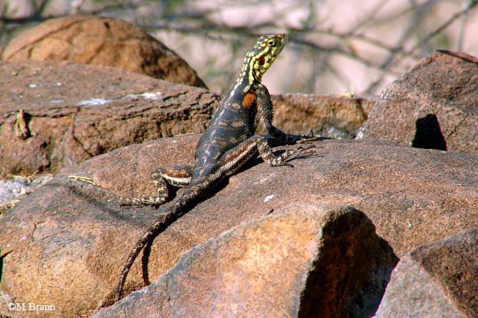 Agama planiceps - die Weibchen sind ganz anders gefärbt