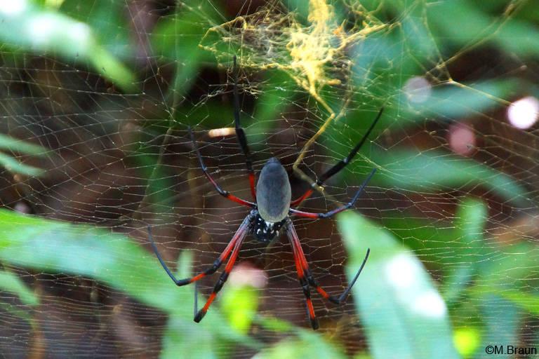 Auch auf der Ile aux Aigrettes sieht man große Radnetzspinnen
