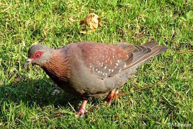 Columba guinea - Guineataube