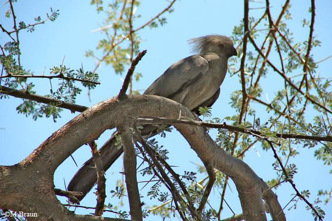 Corythaixoides concolor - Graulärmvogel