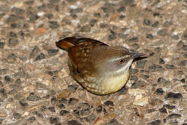 Weißbrauensericornis - Sericornis frontalis