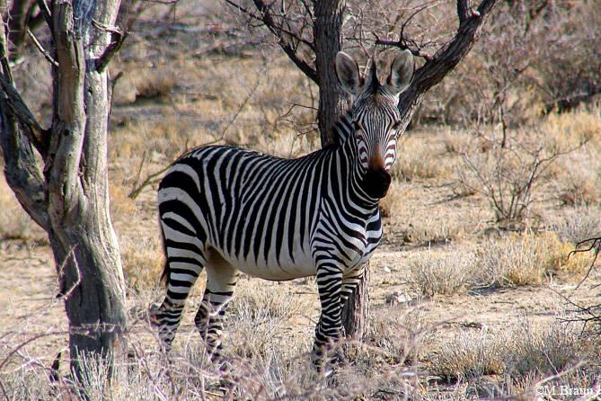 Auch Zebras kommen häufig zur Wasserstelle