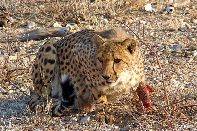 Die Geparden von Epako